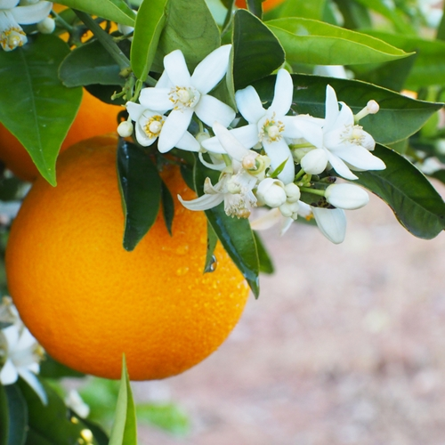 orange-fruit-fleur-1
