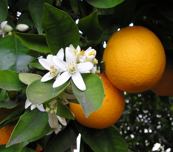 orange-fruit-fleur-2